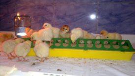 Кормление суточных цыплят