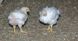 Как лучше скармливать корм птице