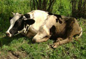 Лечение атонии преджелудков у коров