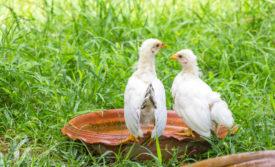 Как применять для цыплят бройлеров