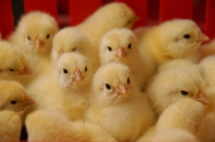 Дозировка для цыплят