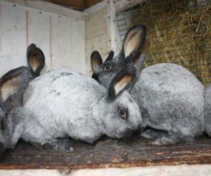 Кролик серебристый: описание породы, особенности разведения