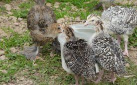 Как использовать для гусят, индюшат и других птиц