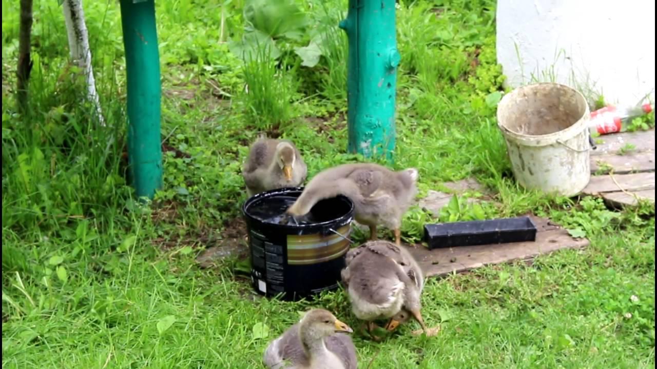 Как кормить гусят в 3 недели
