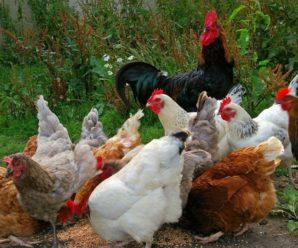 Может ли курица нестись без петуха, и в чем роль пернатого кавалера
