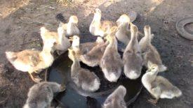 Как кормить гусят в месяц
