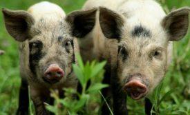 Где разводят миргородских свиней