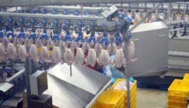 Ощип кур на птицефабрике: как выглядит процесс