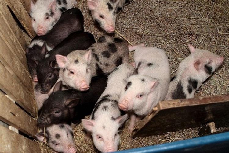Содержание миргородских свиней