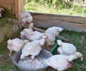 Комбикорма для цыплят бройлеров: рецепты готовых и домашних кормов