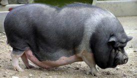Вьетнамские вислобрюхие свиньи