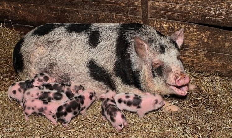 Разведение миргородских свиней