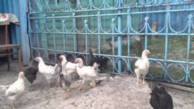 Рацион двухмесячных цыплят