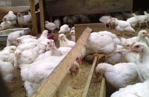 Кормление цыплят бройлеров: быстрый рост птицы в домашних условиях