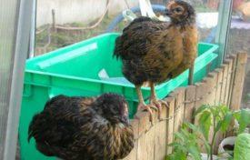 Разведение и выращивание цыплят