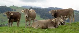 Продуктивность швицких коров