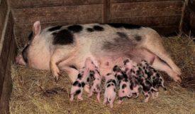 Чем болеют миргородские свиньи