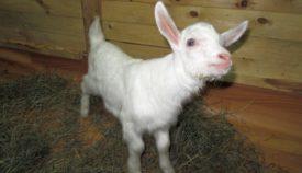 Понос у козлят