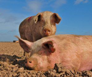 Популярные породы свиней сального и мясо-сального направления