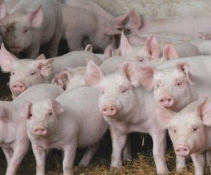 Самые популярные свиньи мясных пород: подробное описание и особенности содержания