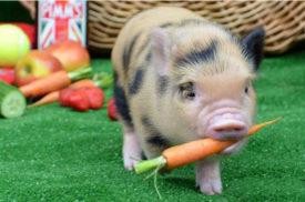 Карликовые породы свиней