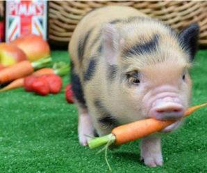 Карликовые свиньи как домашние питомцы: интересные факты о декоративных породах