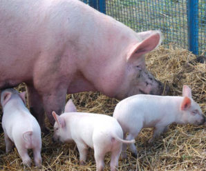 Порода свиней крупная белая: описание породы, уход и секреты разведения