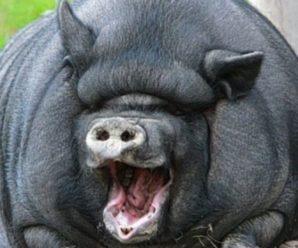 Какие свиньи самые большие в мире: обзор рекордсменов среди диких и домашних свиней
