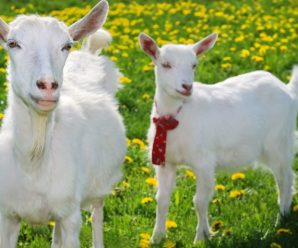 Зааненская порода коз – характеристика и описание породы