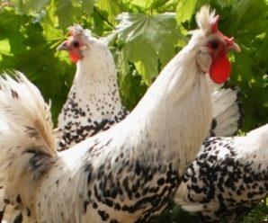 Порода кур Аппенцеллер:  характеристики, продуктивность и отзывы фермеров