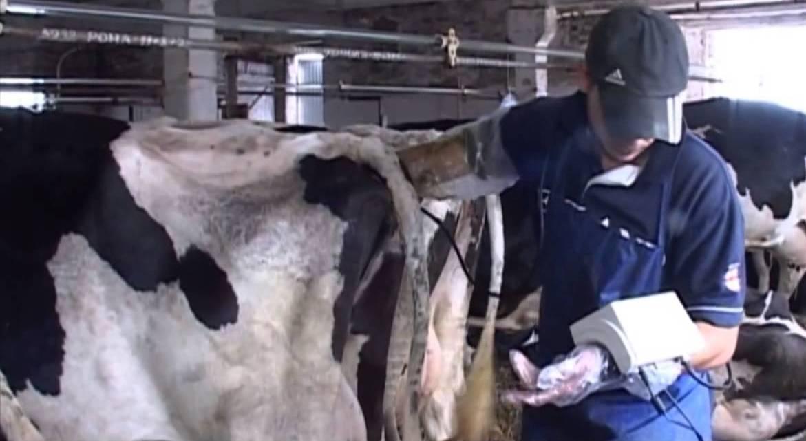 Сколько корова вынашивает теленка