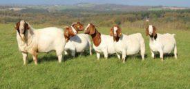 Разведение коз.