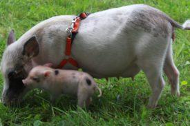 Карликовые свиньи