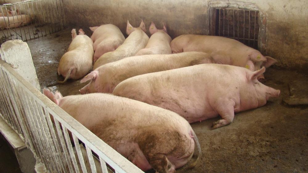 Самые большие свиньи в мире