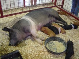 Свиньи мясной породы