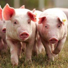 белая крупная порода свиней