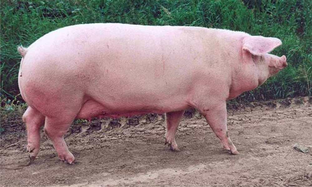 belaja krupnaja poroda svinej