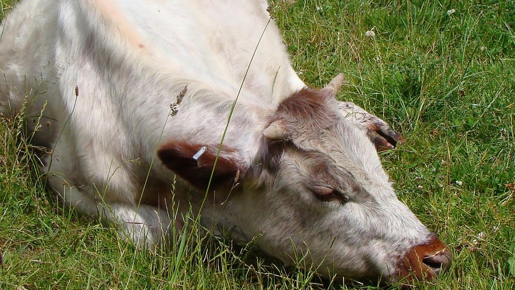 Лечение мастита у коров в домашних условиях