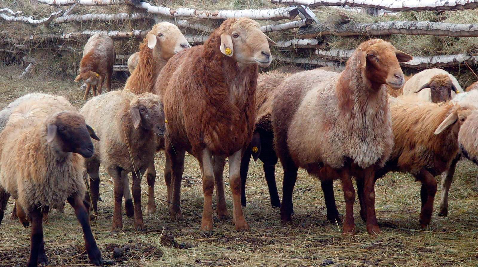 Эдильбаевская порода овец в стойле