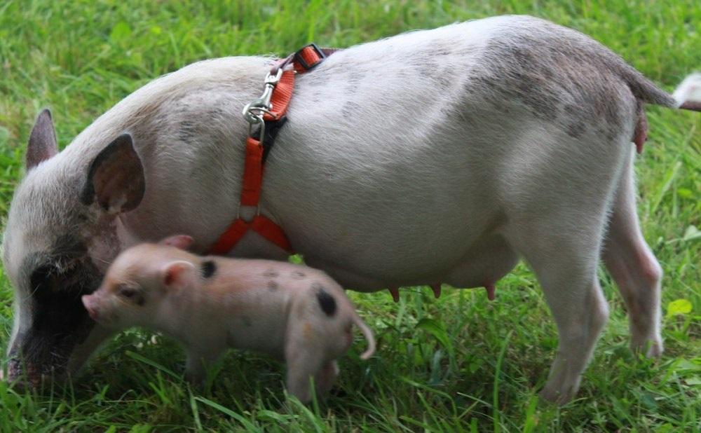 Средняя продолжительность жизни свиней