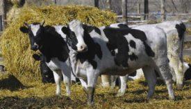 Голштинские коровы