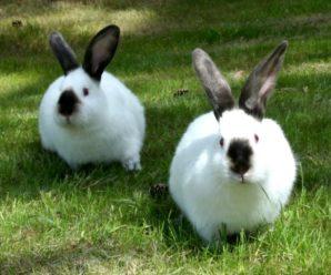 Калифорнийская порода кроликов: содержание, уход, особенности разведения
