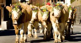 Сколько живет корова