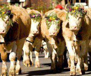 Сколько живут коровы в домашних условиях и на ферме