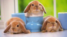 Троица декоративных кроликов