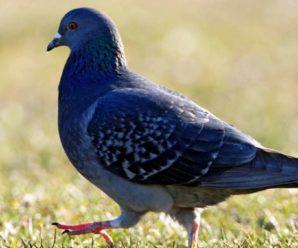 Породы голубей: характерные черты основных разновидностей птиц