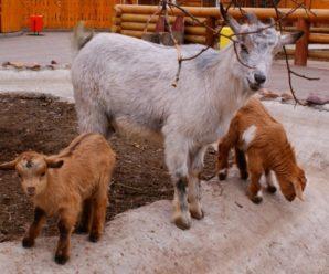 Камерунская порода коз: подробная характеристика и особенности содержания