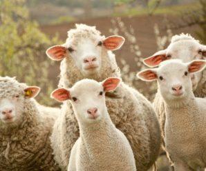 Разведение овец в домашних условиях: полезные рекомендации для начинающих