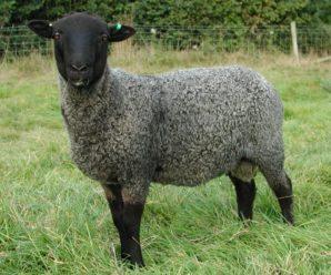 Романовская порода овец – лучший вариант для начинающих животноводов