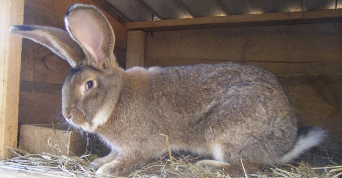 Порода кроликов фландр